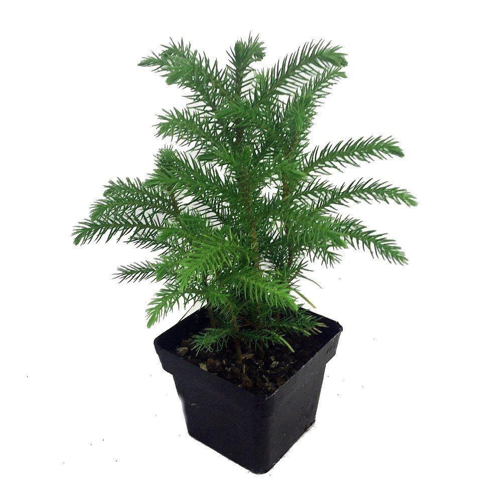 Norfolk Island Pine Indoor Christmas Tree Best Offer